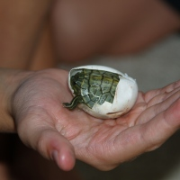 Discovery: Red-eared Slider Clutch