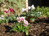 Dianthus and Cyclamen