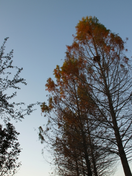 Nearly Bald Bald Cypress