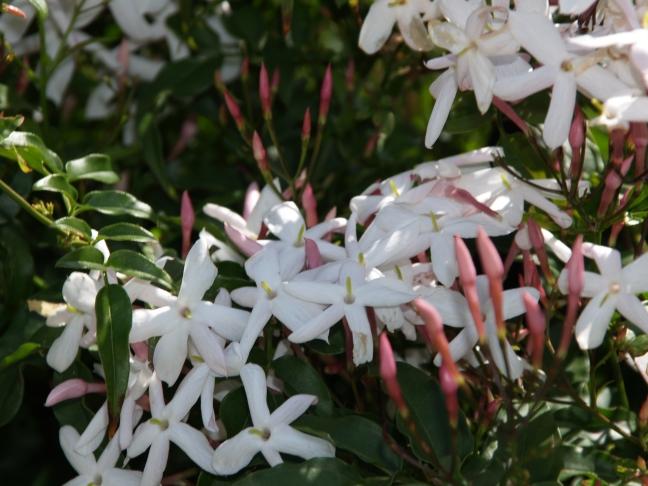 5.  Pink Jasmine in Bloom
