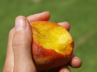 Juicy Peach -- ripe for the picking!