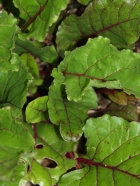 Beet Greens -- Mmmm