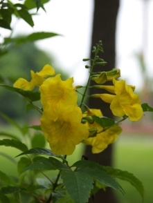 Yellow Bells (Esperanza)