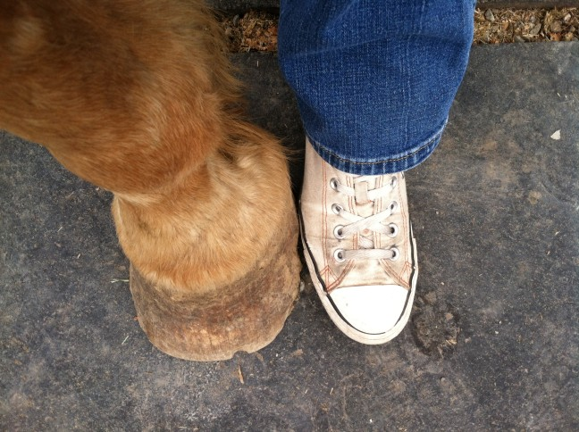 Measuring Up - My foot next to a draft horse's, Coeur d'Alene, ID