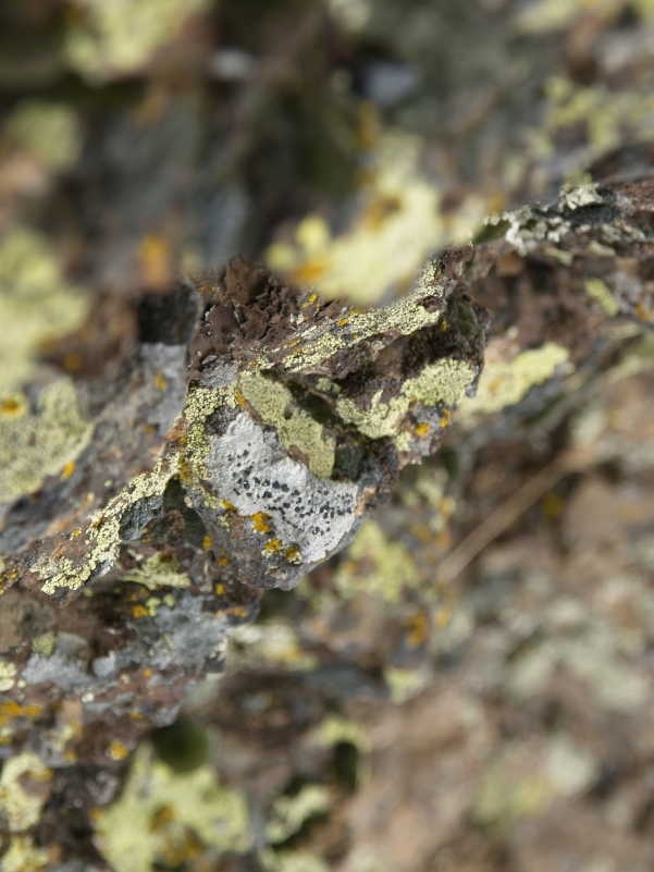 Lichen Painting - Clinging to a rock on the tundra, Lewiston, ID