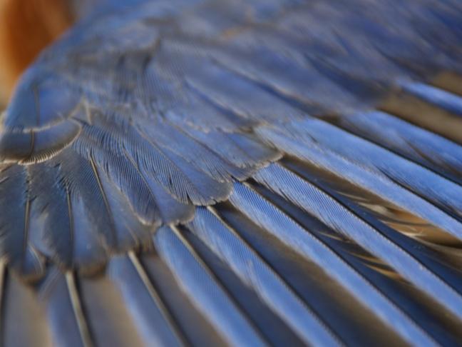 Eastern Bluebird Wing (2.0x converter)