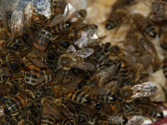 Honey Bees Feasting on Honey (2.0x converter)