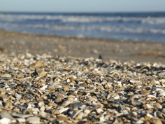 Oyster and seashells are pretty crushed up on shore