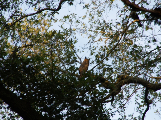 A Blurry Great-horned Owl