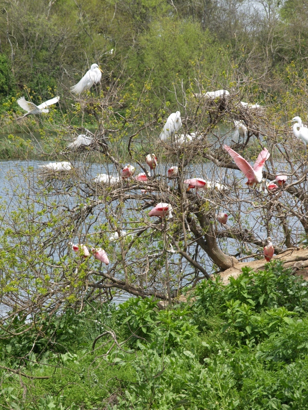 Egrets Display, Roseates Nesting