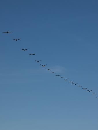 Brown Pelican Flyover
