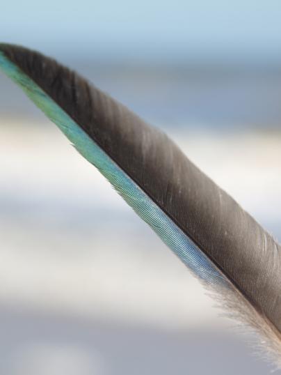 Purple Gallinule Feather