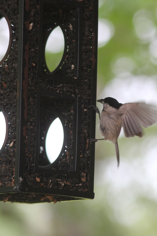 Chicadee's Got Several Mouths to Feed