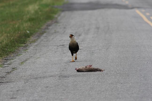 Mmm. Road Kill.