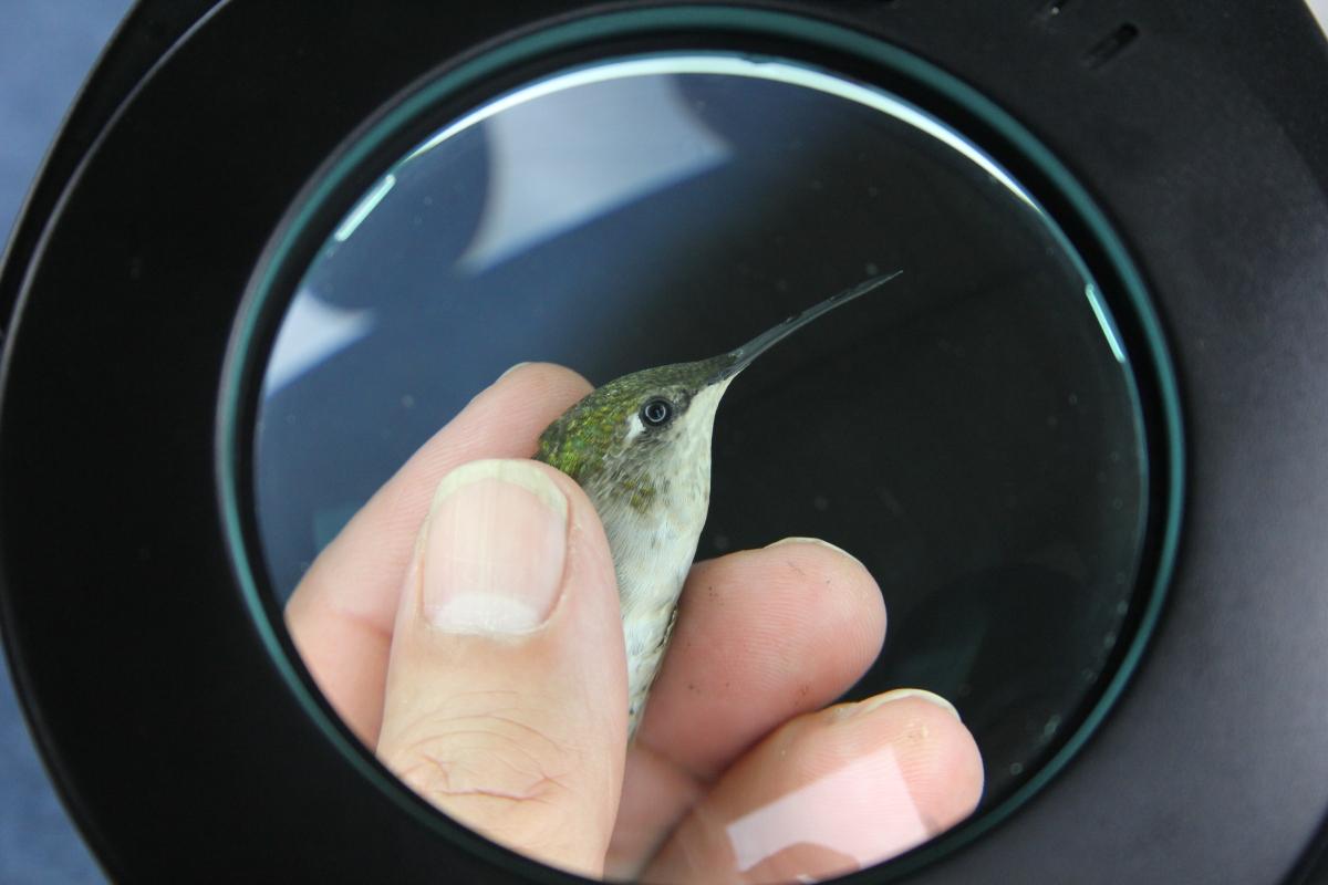 Hummingbird Banding Xtravaganza