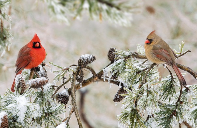 Male and Female Northern Cardinal Photo credit: Wild Birds Unlimited