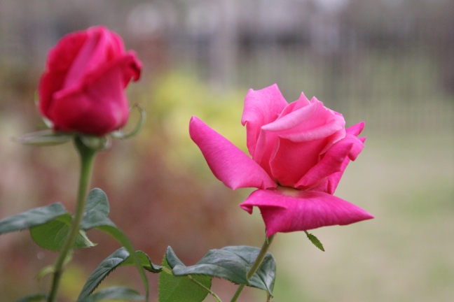 First_Rose_2015