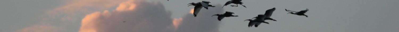 cropped-white-ibis.jpg