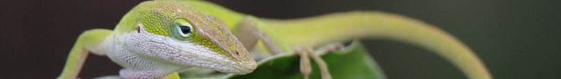 cropped-green_anole_chard_guard.jpg