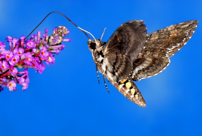 Sphinx_Moth