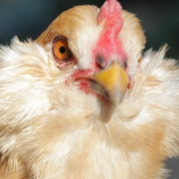 Roosters Don't Lay Eggs: The Unavoidable Cruelty of Yard Hens