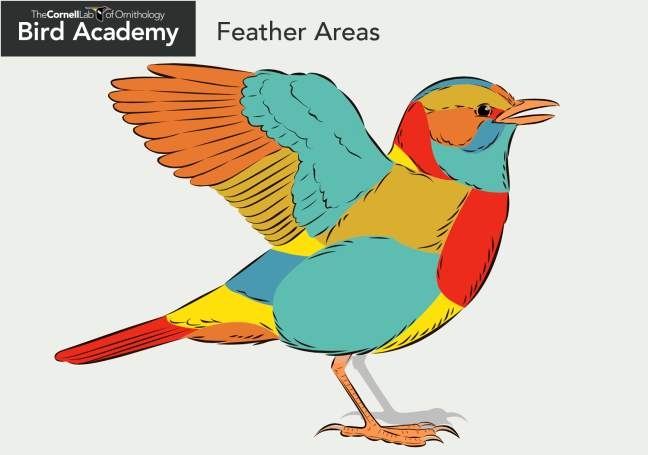 Cornell_Bird_Anatomy