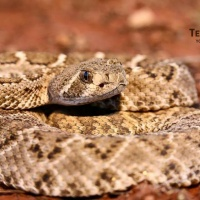 Texas Wild - Professionals Don't Kill Rattlesnakes