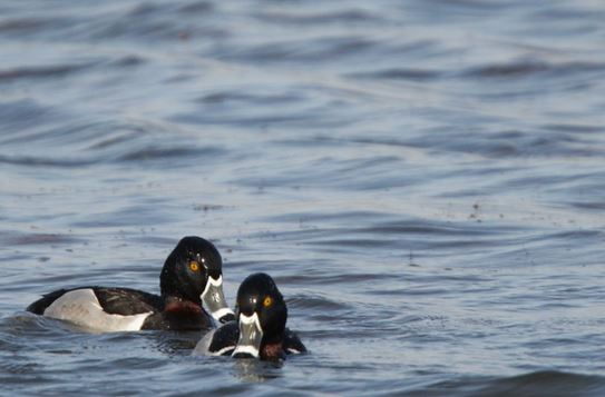 Ring_Necked_Duck