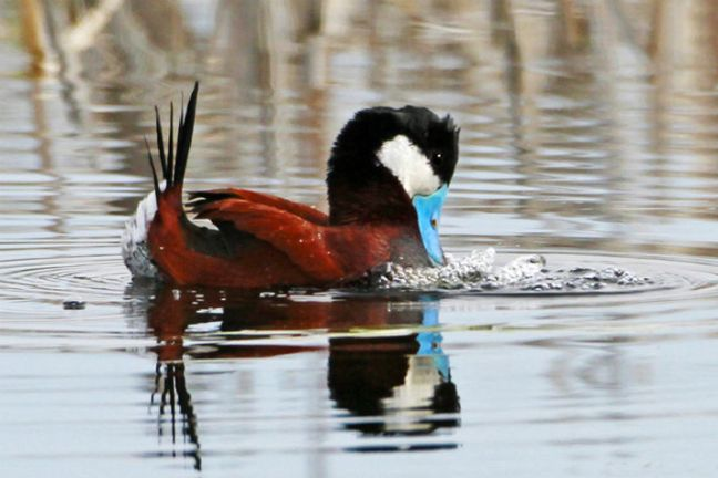 Ruddy_Duck_FWS