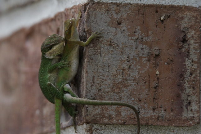 Anole_Love
