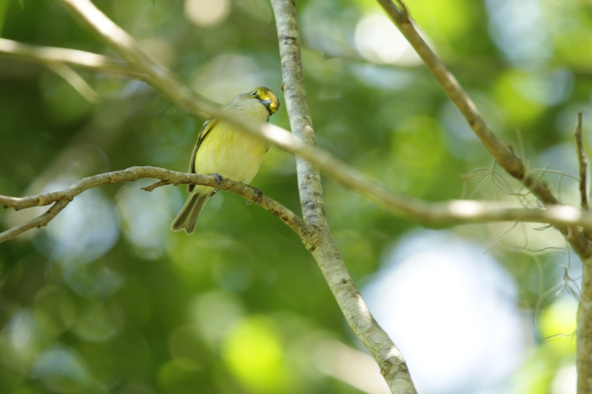 Ghost Bird: White-eyed Vireo (Sound!)