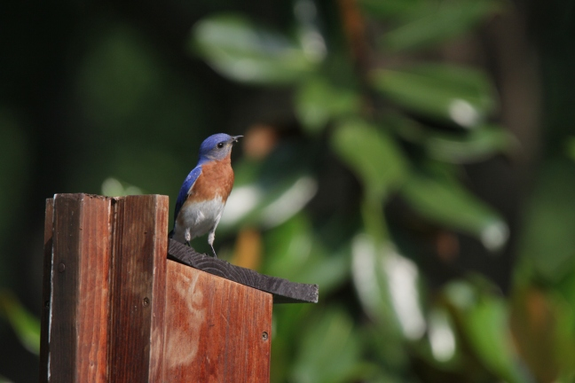 A male Eastern Bluebird brings morsels to his brood.