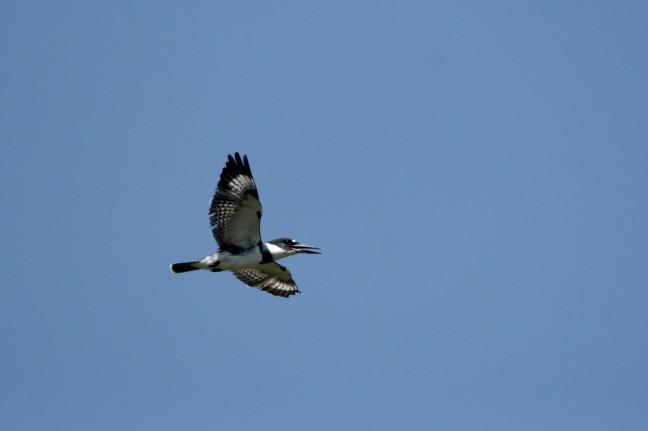 A male Belted Kingfisher calls while in flight, making sure others know this is his hunting territory.
