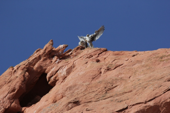 Copulation of Prairie Falcons at Garden of the Gods, Colorado, make a group of friars blush.