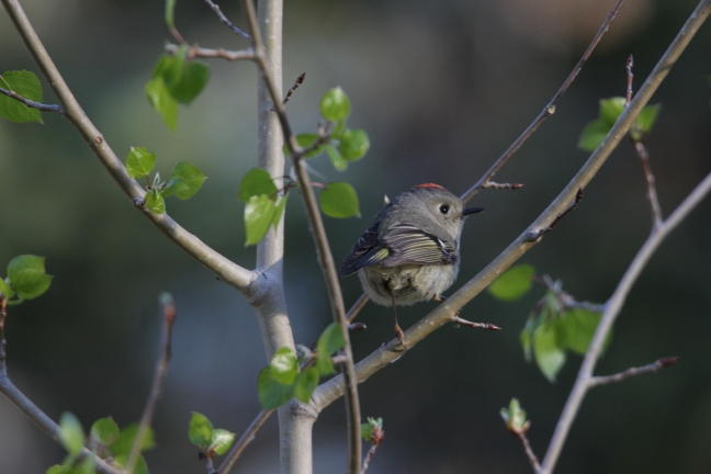 Ruby-crowned Kinglet sing daily mid-summer at DeMotte Campground in the Kaibab National Forest.