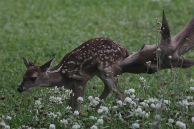 A white-tailed deer fawn gets cleaned up before bedding down on his first day of life.