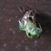 Cicada Song of Summer