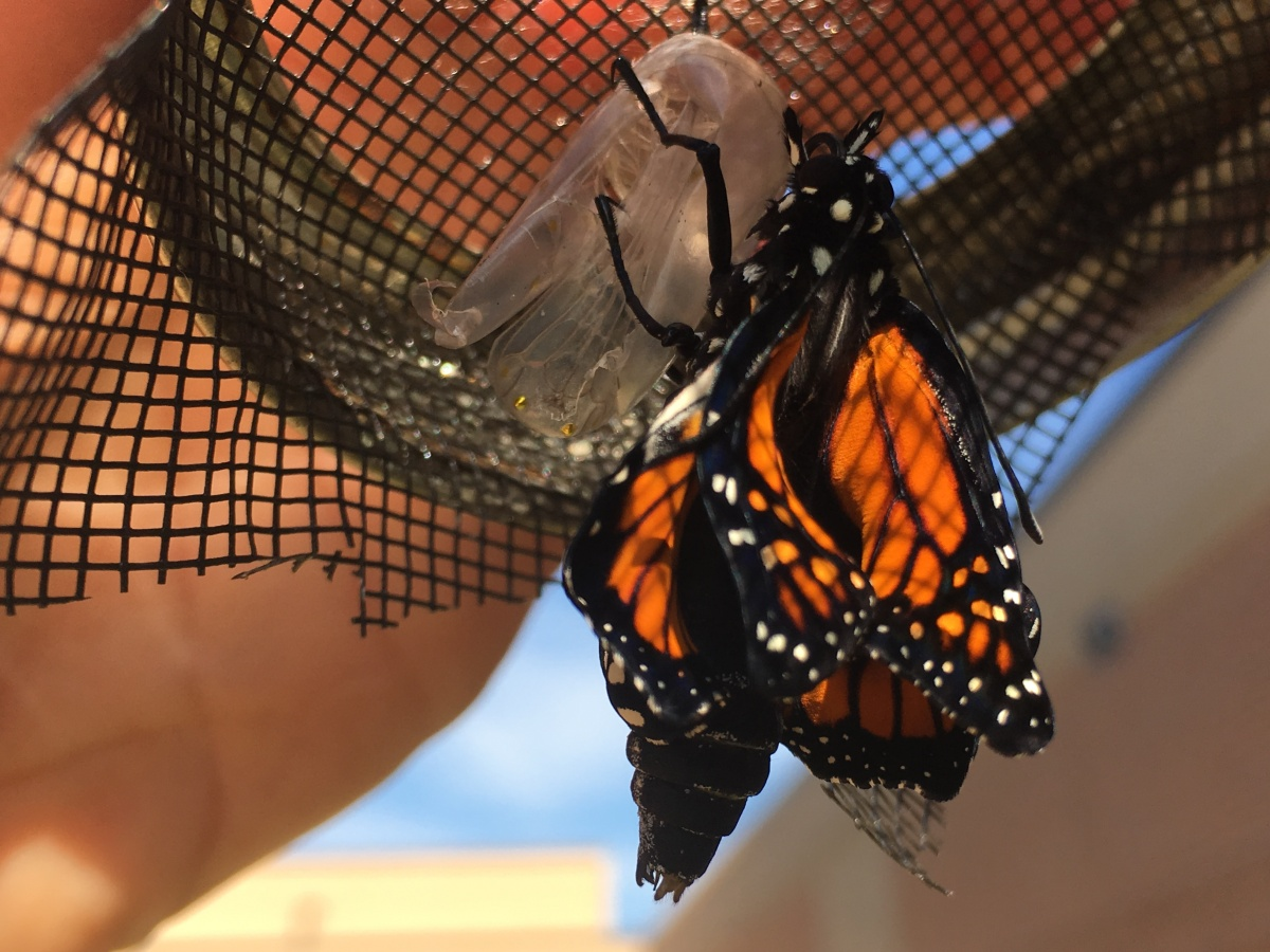 Last of Year: 4th Generation Monarch